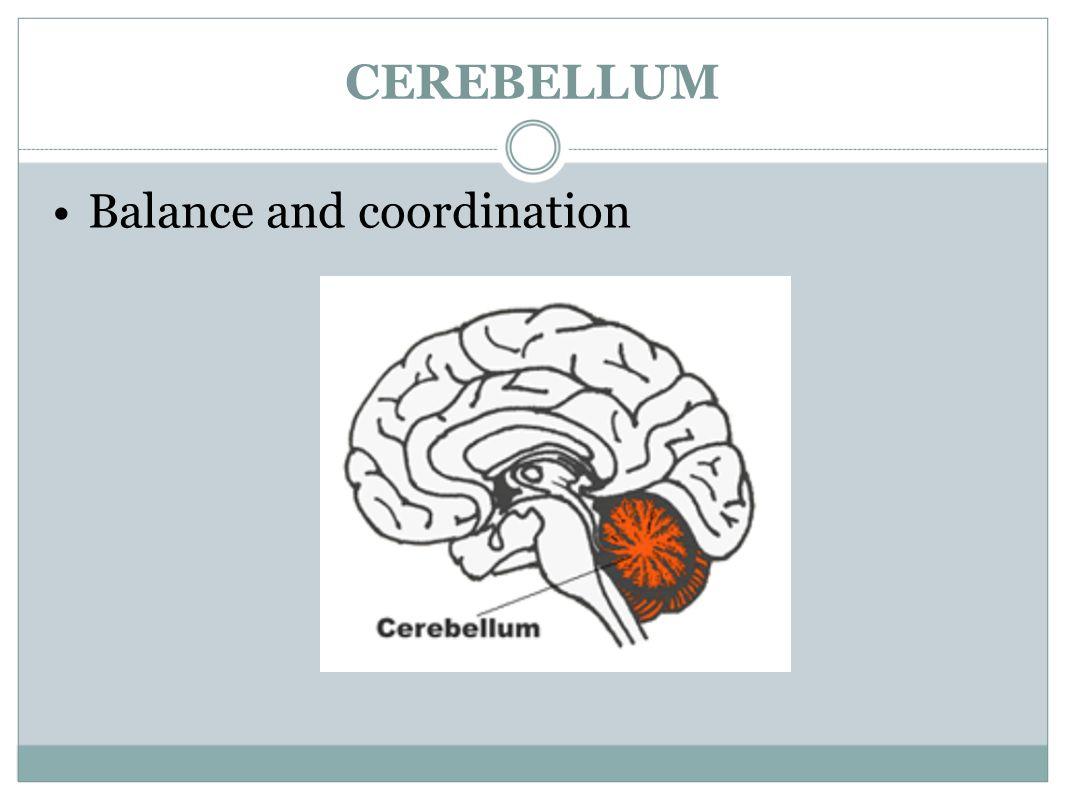 Großartig Cerebellum Anatomie Und Physiologie Fotos - Anatomie Ideen ...