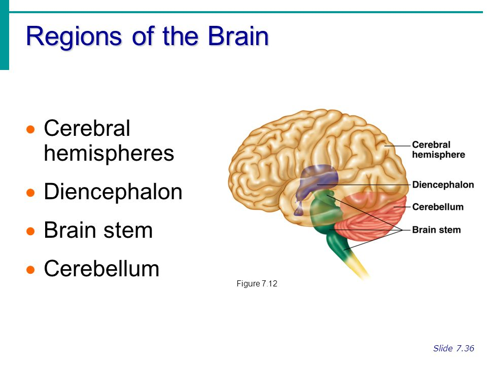 Regions Of The Brain Cerebral Hemispheres Diencephalon Brain Stem