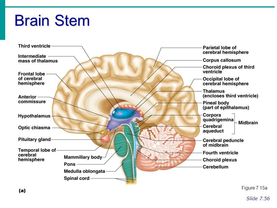 Regions of the brain cerebral hemispheres diencephalon brain stem 21 brain stem figure 715a slide 756 ccuart Image collections