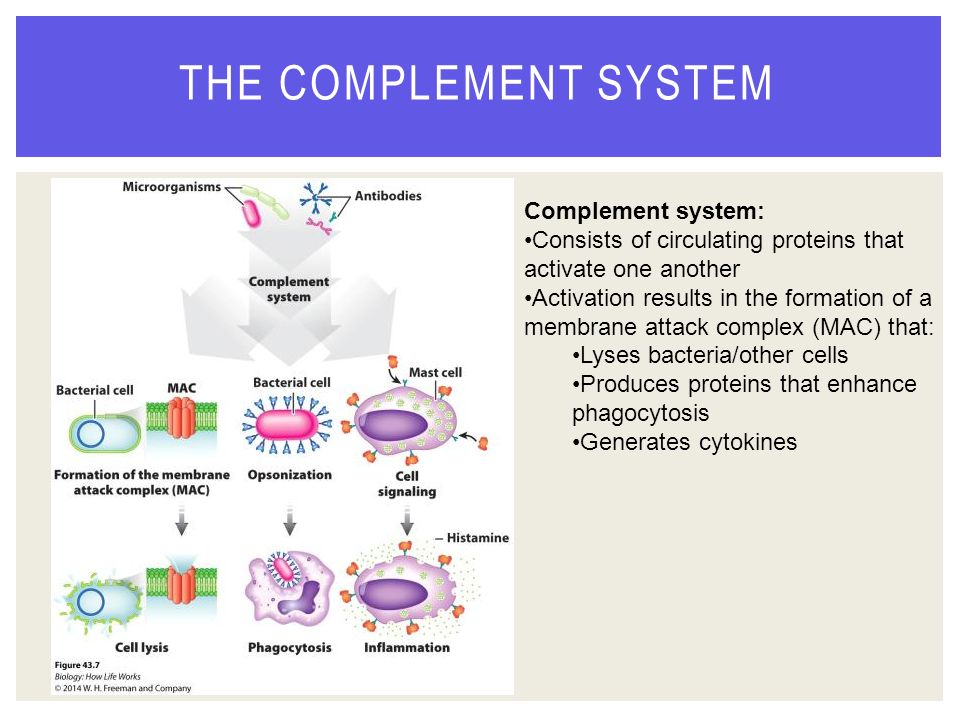 the complement system in microorganisms The complement system is an enzyme cascade that is a collection of blood and cell surface proteins to help the abilities of antibodies to clear pathogens from an.