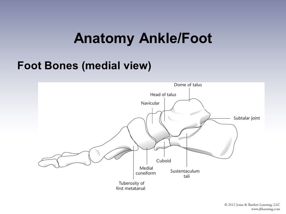 Ankle anatomy medial 2885635 - follow4more.info