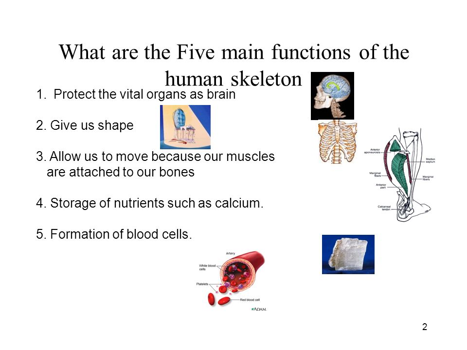 the human skeleton humans skeletal system is composed of bones, Skeleton
