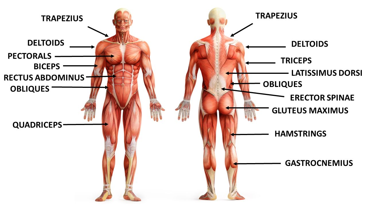 major muscle groups. - ppt video online download, Human Body