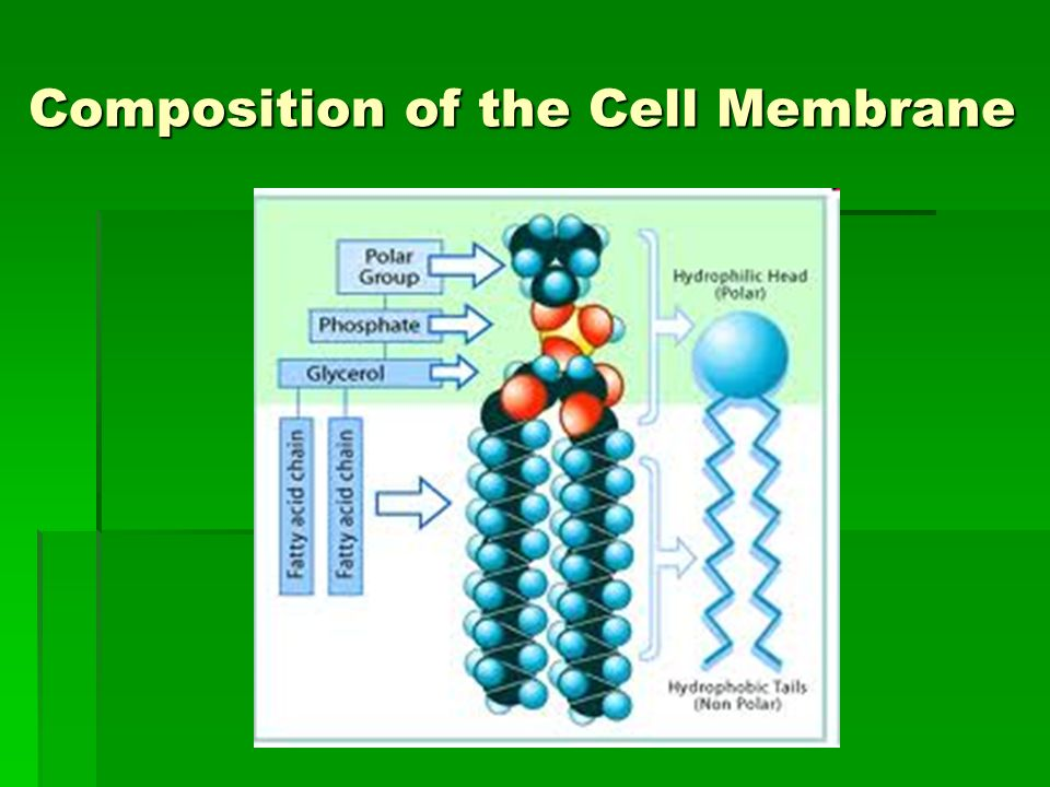 Cell Membrane and Tonicity Worksheet ppt download – Tonicity Worksheet