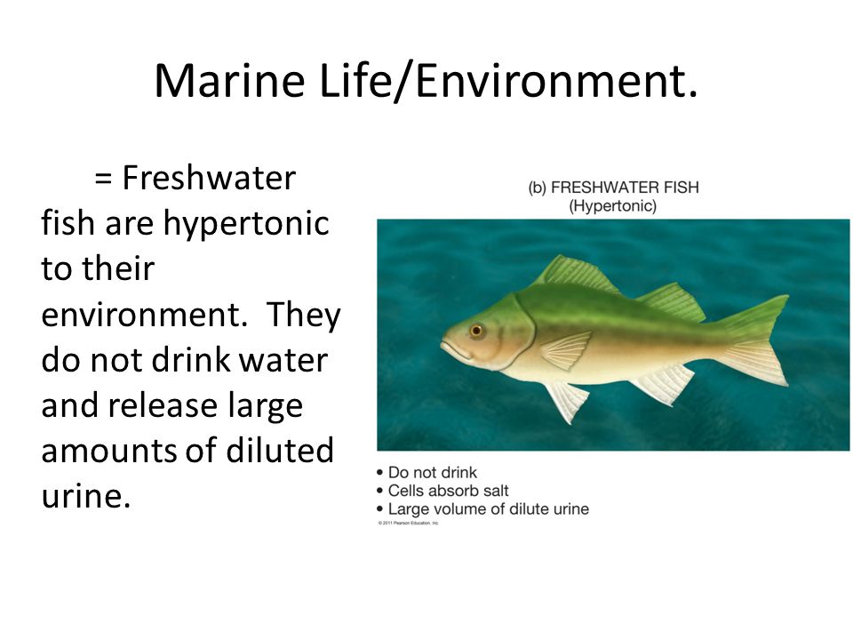 Marine life and the marine environment ppt video online for Do fish drink water