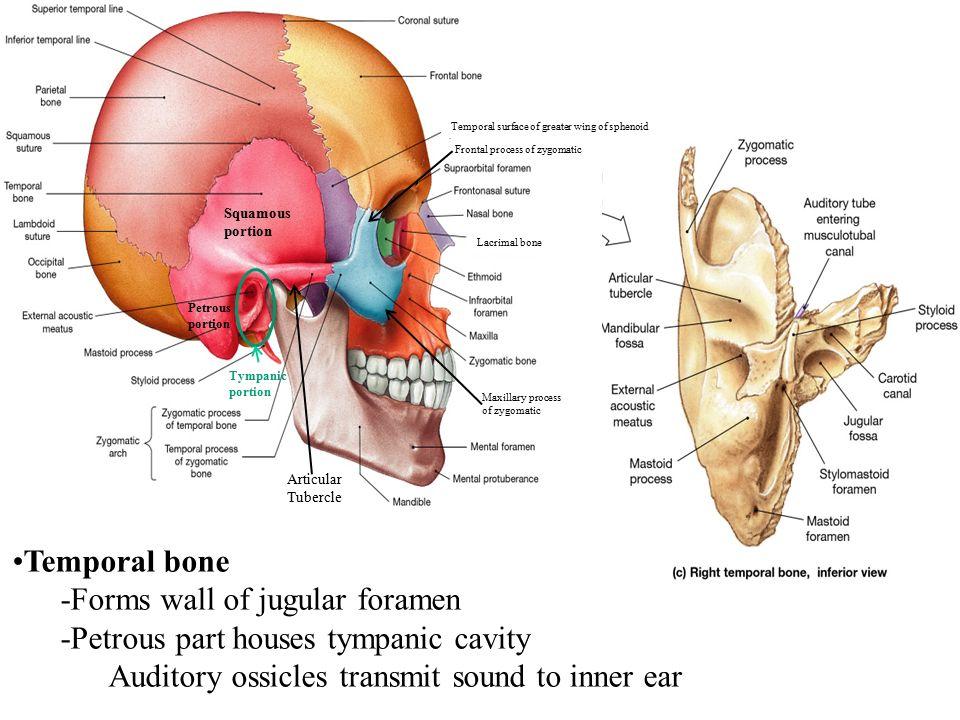 Enchanting Tympanic Cavity Anatomy Frieze - Human Anatomy Images ...