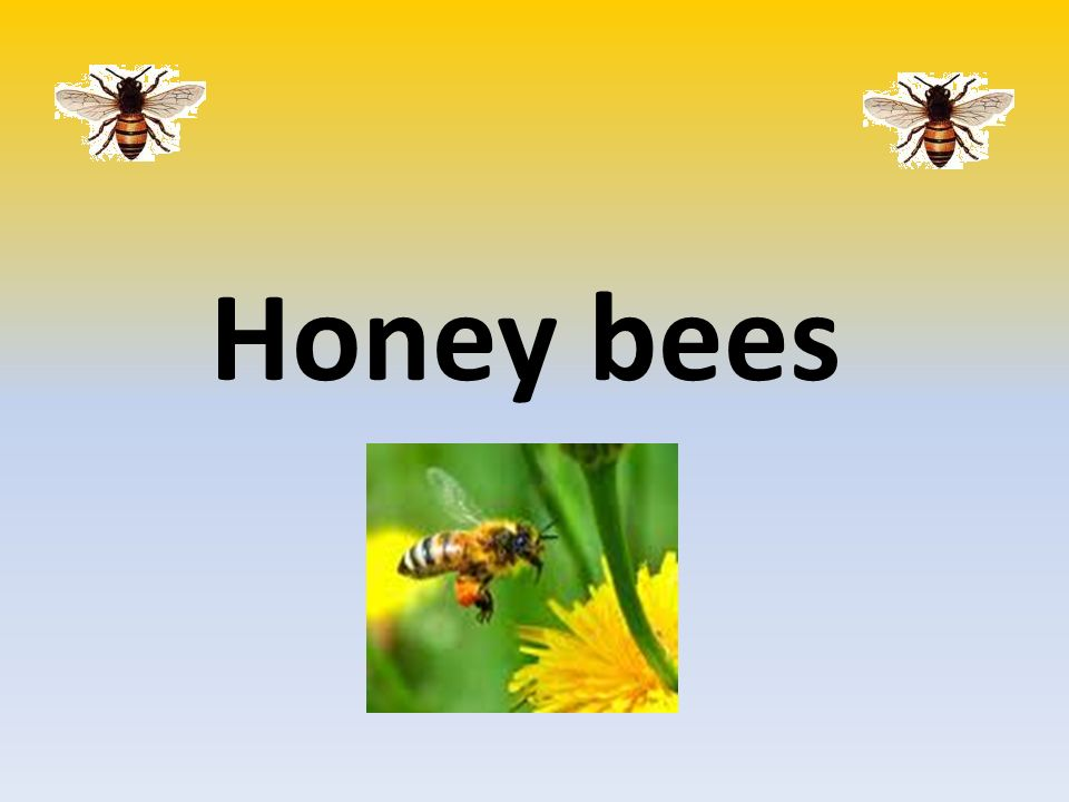 drones bee with 10294619 on File Apis mellifera carnica drone postnatal 4 likewise Bee Themed Bookmarks together with Euro honey bee further Honey Vs Sugar together with Bumble Bee.