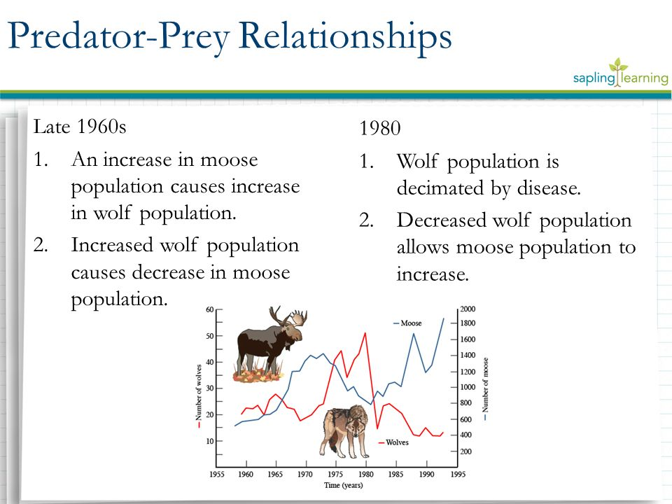 moose and wolf predator prey relationship tundra