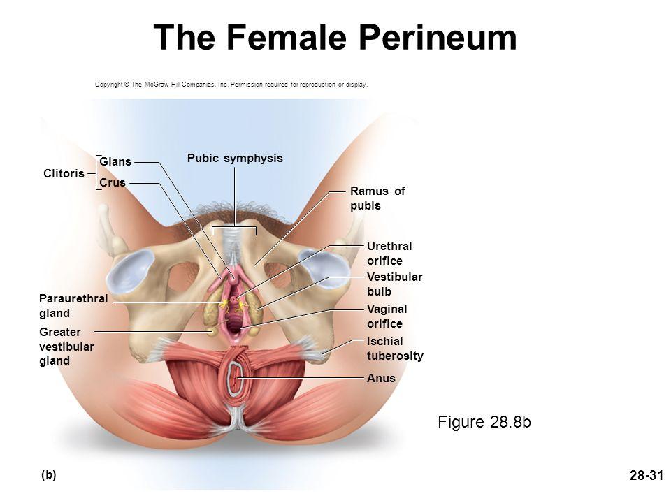 Berühmt Human Anatomy Clitoris Zeitgenössisch - Menschliche Anatomie ...