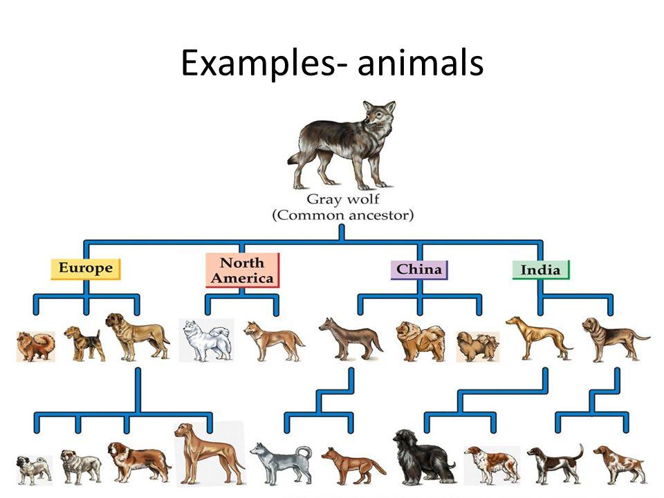 Selective Breeding Selective Breeding Also Called Artificial