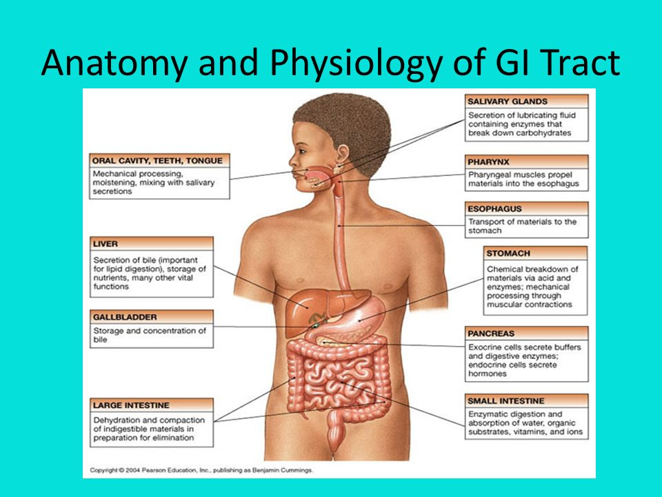 Tolle Anatomy And Physiology Of Gi Tract Zeitgenössisch ...