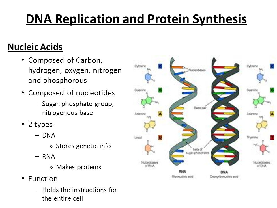 Replication Protein Synthesis Diagram Diy Enthusiasts Wiring
