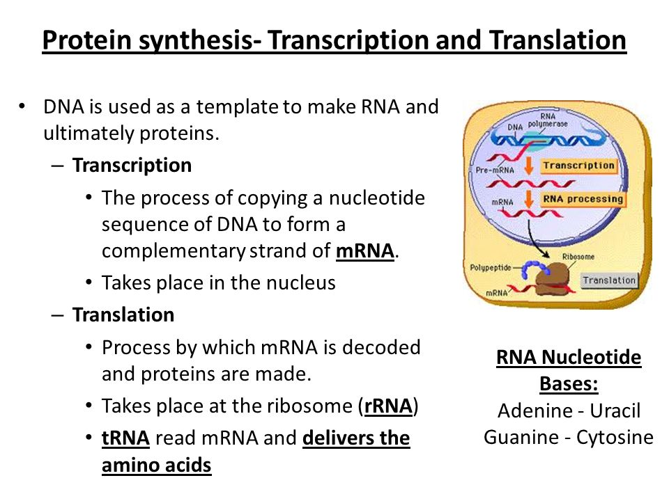 when an rna strand forms using dna as a template - dna replication and protein synthesis ppt video online