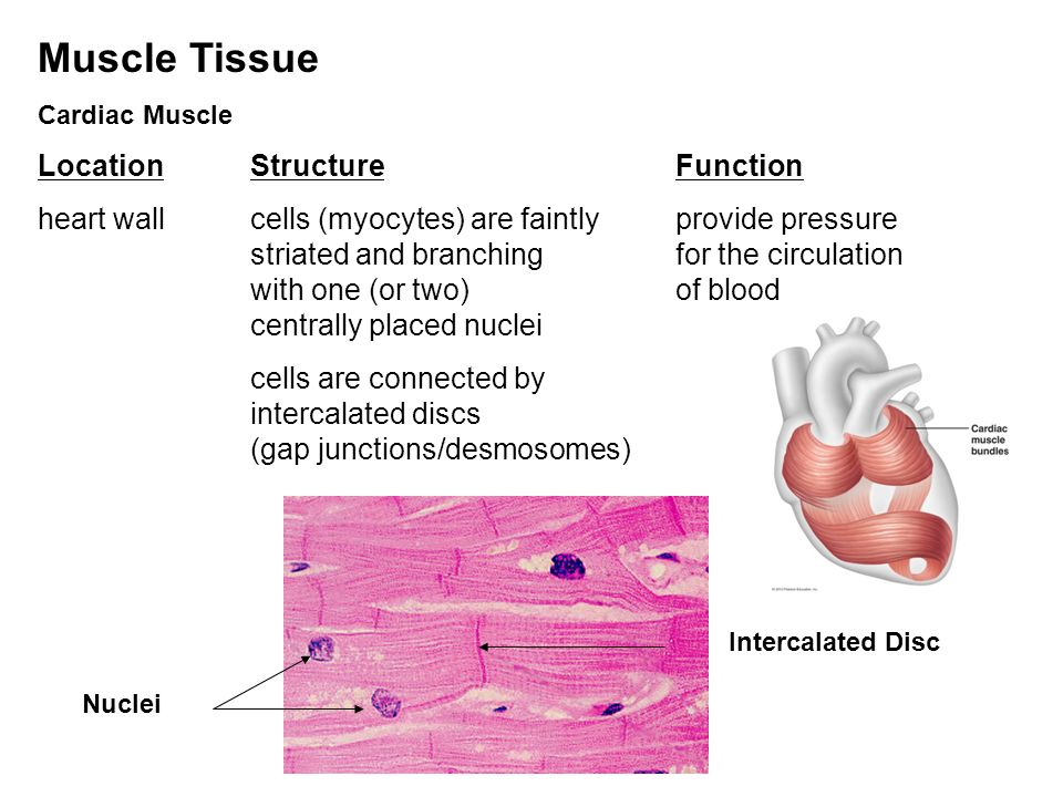 muscle tissue function Skeletal muscle: skeletal muscle,  tissue and communicate with nerves and blood vessels for more information on the structure and function of skeletal muscle,.