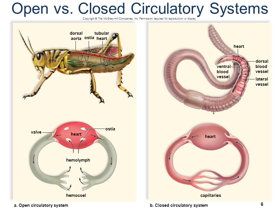 How Does the Circulatory System Work? You'll Be Surprised to Know