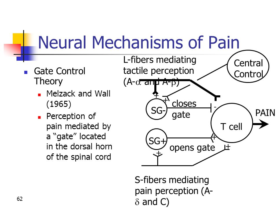 neural pathways and mechanisms in pain sensation Describe the different peripheral mechanisms that activate nociceptors and the  pathological changes  of pain signals involving descending pathways from the  brainstem  the peripheral receptors for pain are naked nerve endings of the 1°  neuron  patients perceive an increased sensitivity to pain noxious stimuli  evoke.