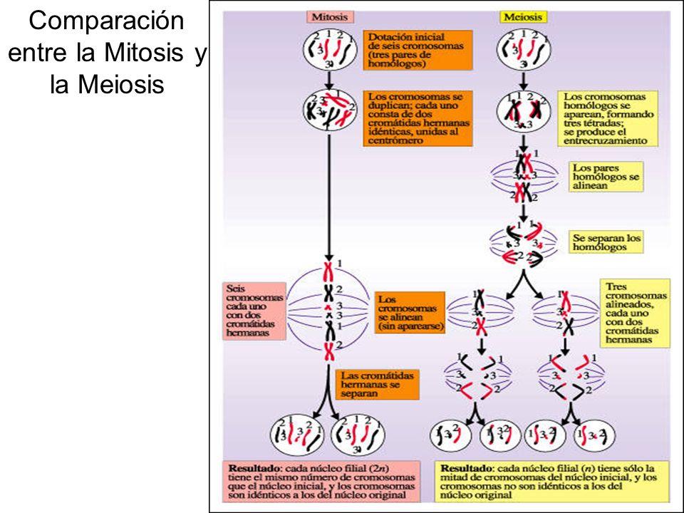 Comparación entre la Mitosis y la Meiosis