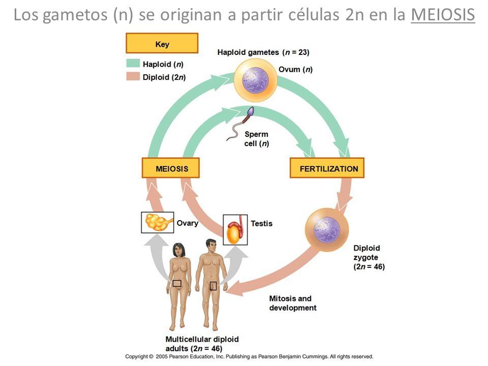 Los gametos (n) se originan a partir células 2n en la MEIOSIS