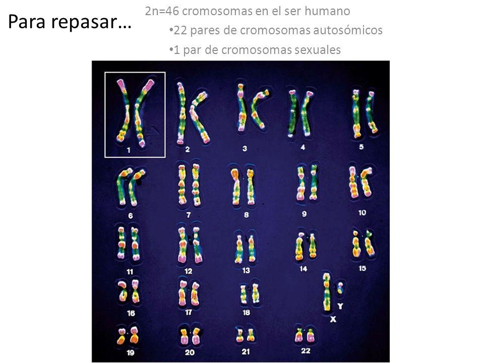 Para repasar… 2n=46 cromosomas en el ser humano