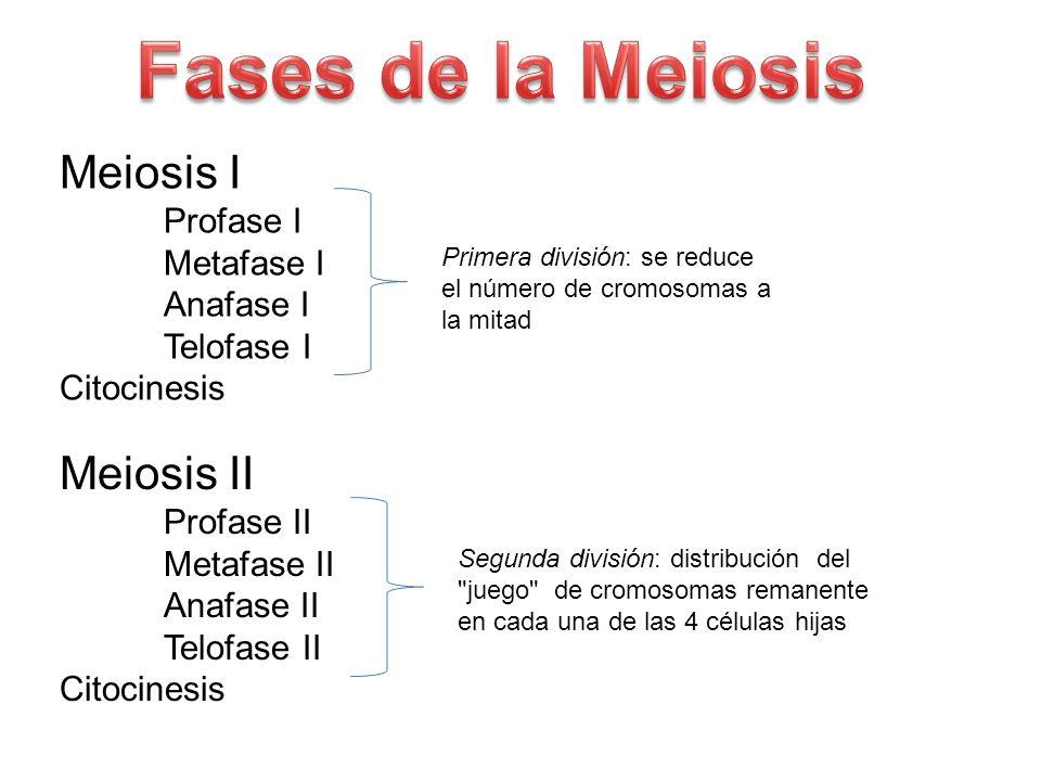 Fases de la Meiosis Meiosis I Meiosis II Metafase I Anafase I