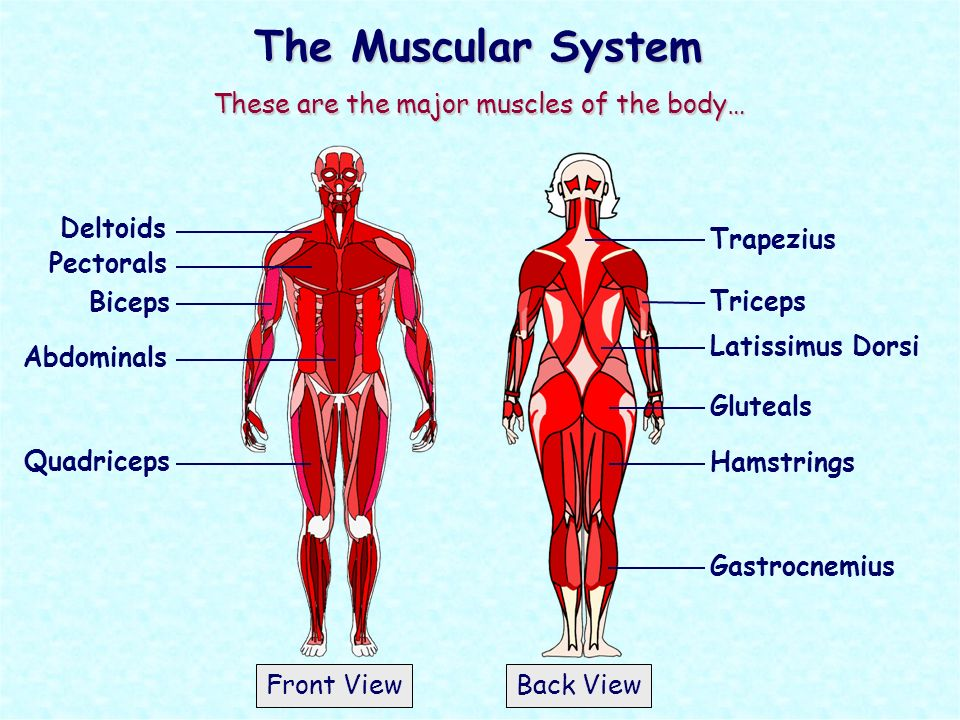 The Muscular System These are the major muscles of the ...