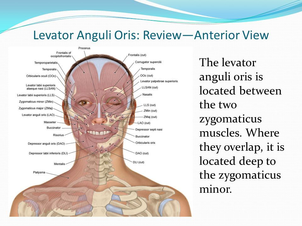 muscles of facial expression - ppt download, Human Body