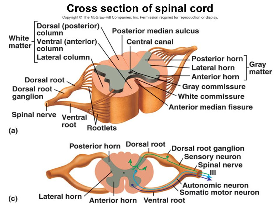 Meninges Brain And Spinal Cord Mbbs Batch 17 Year I Dr Wai Wai