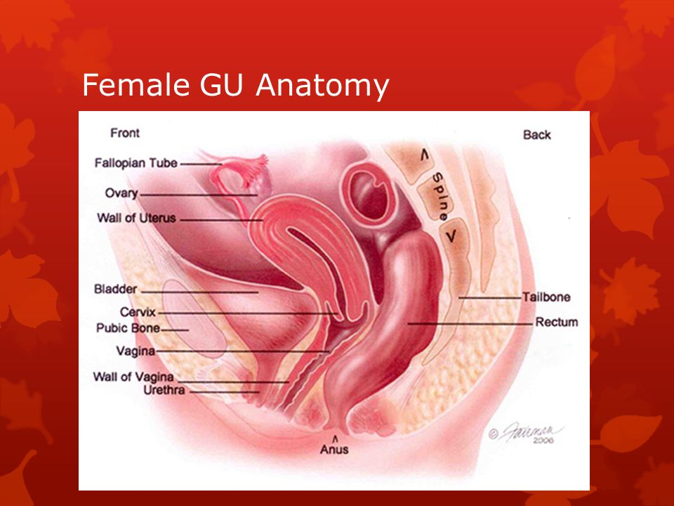 Female Genitourinary Anatomy Choice Image - human anatomy organs diagram