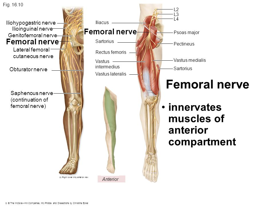 femoral nerve walking – citybeauty, Muscles