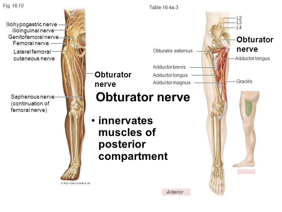 Obturator nerve anatomy