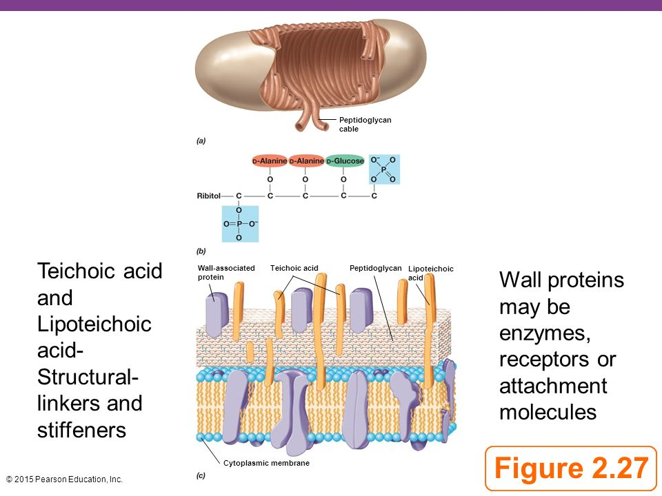 Microbial Cell Structure and Function - ppt video online ...  Lipoteichoic Acid