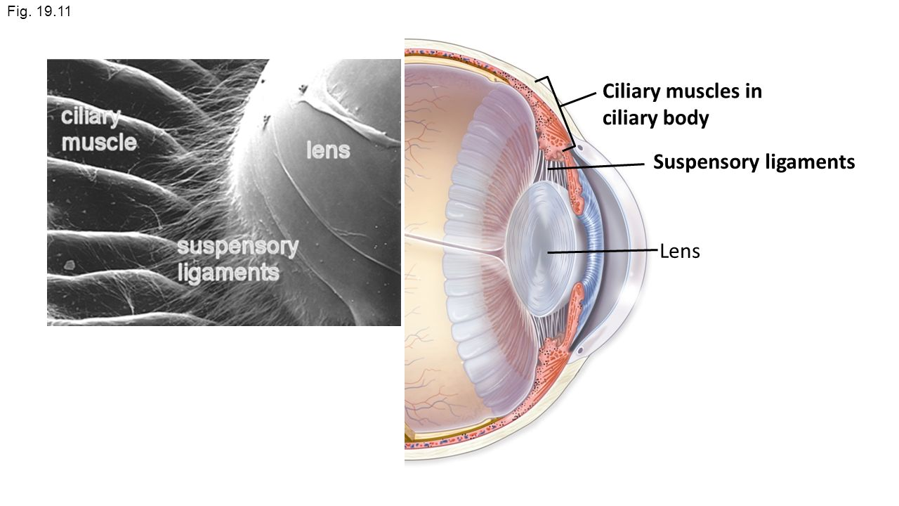 Iris Eye Anatomy