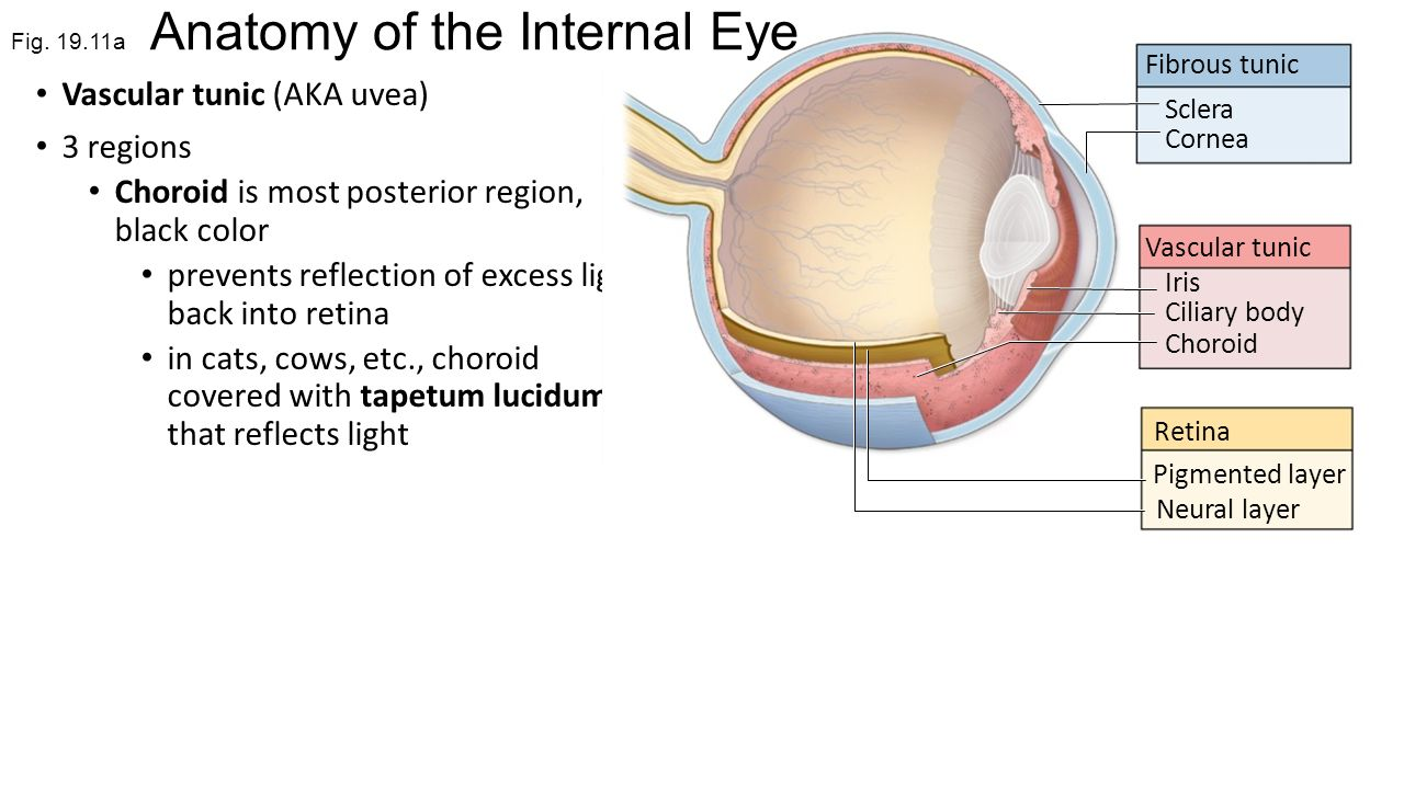Fine Cats Eye Anatomy Photos - Physiology Of Human Body Images ...