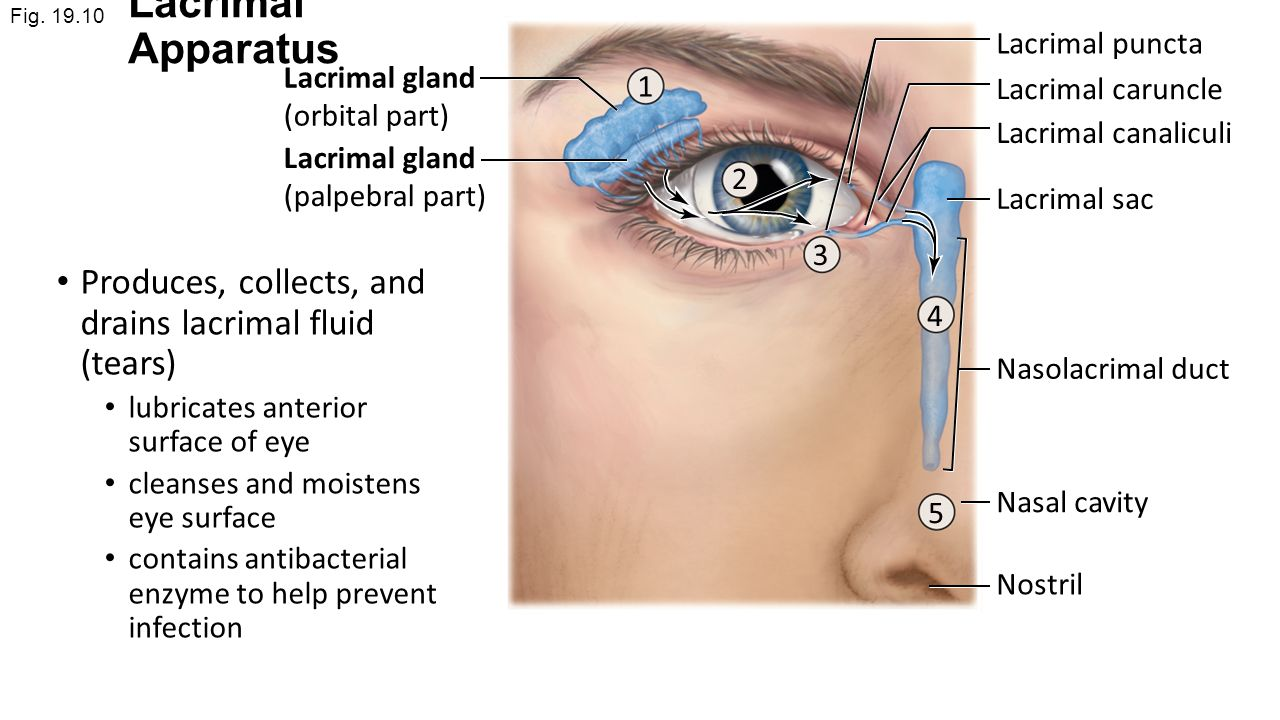 List of Synonyms and Antonyms of the Word: lacrimal organs