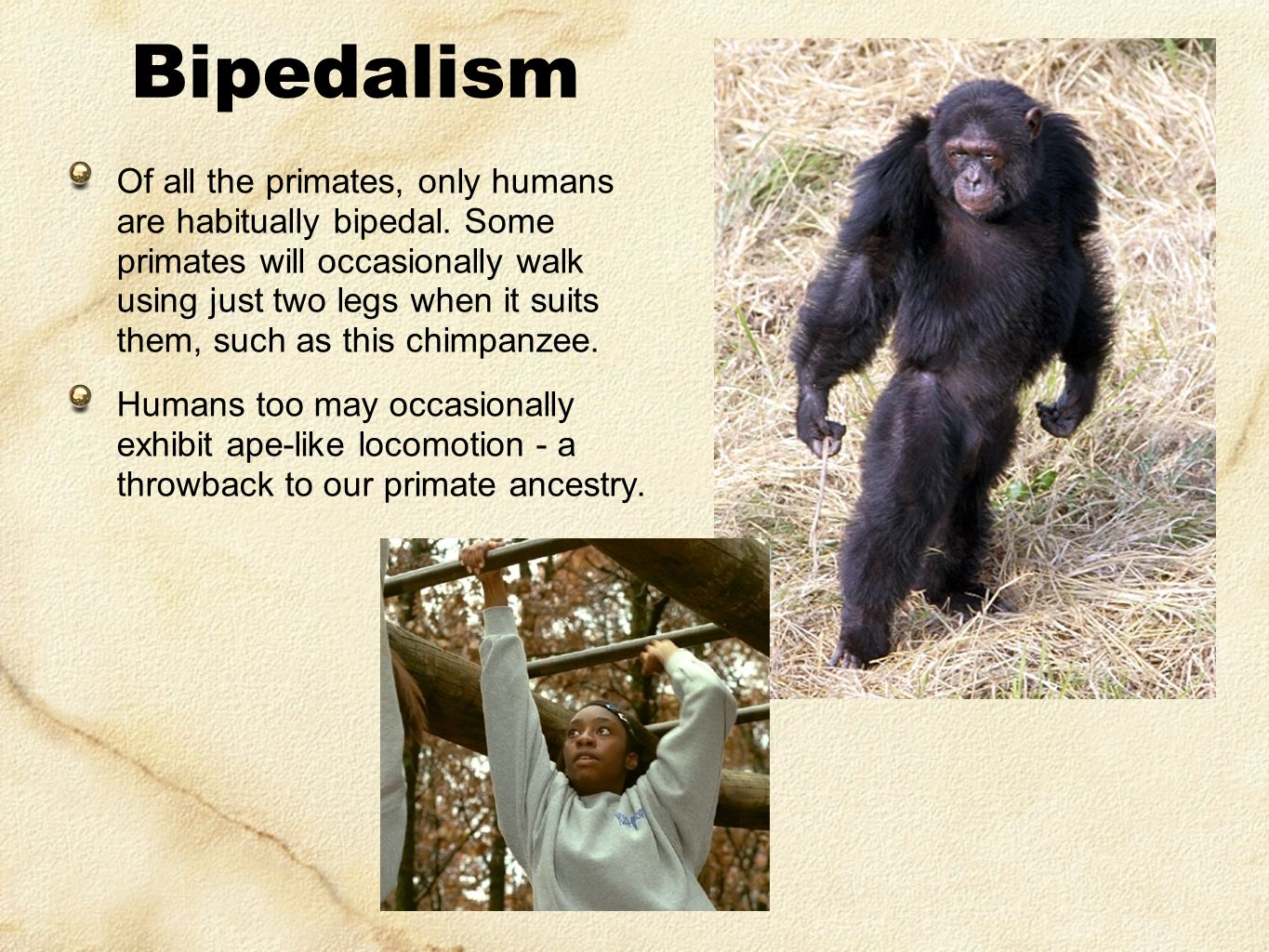 bipedal locomotion in early hominids essay The first upright hominids occurred in this time frame, the process ofbecoming a   human bipedal walking is at least as efficient as quadrupedal locomotion in.