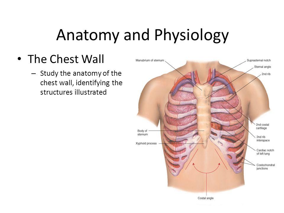 Fein Chest Anatomy And Physiology Fotos - Menschliche Anatomie ...