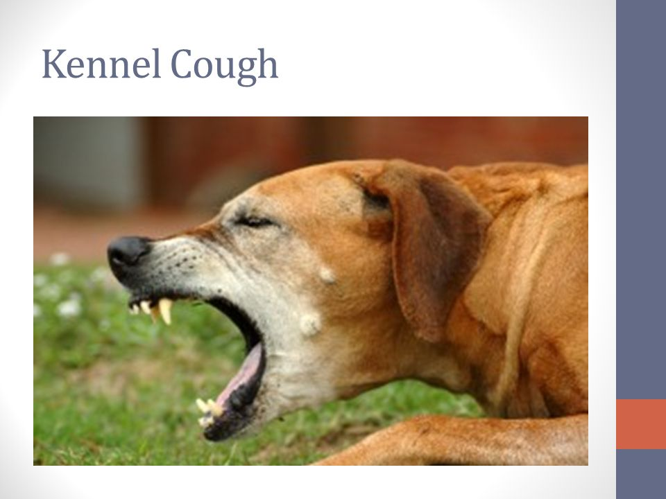 Severe Kennel Cough Infection In Dogs