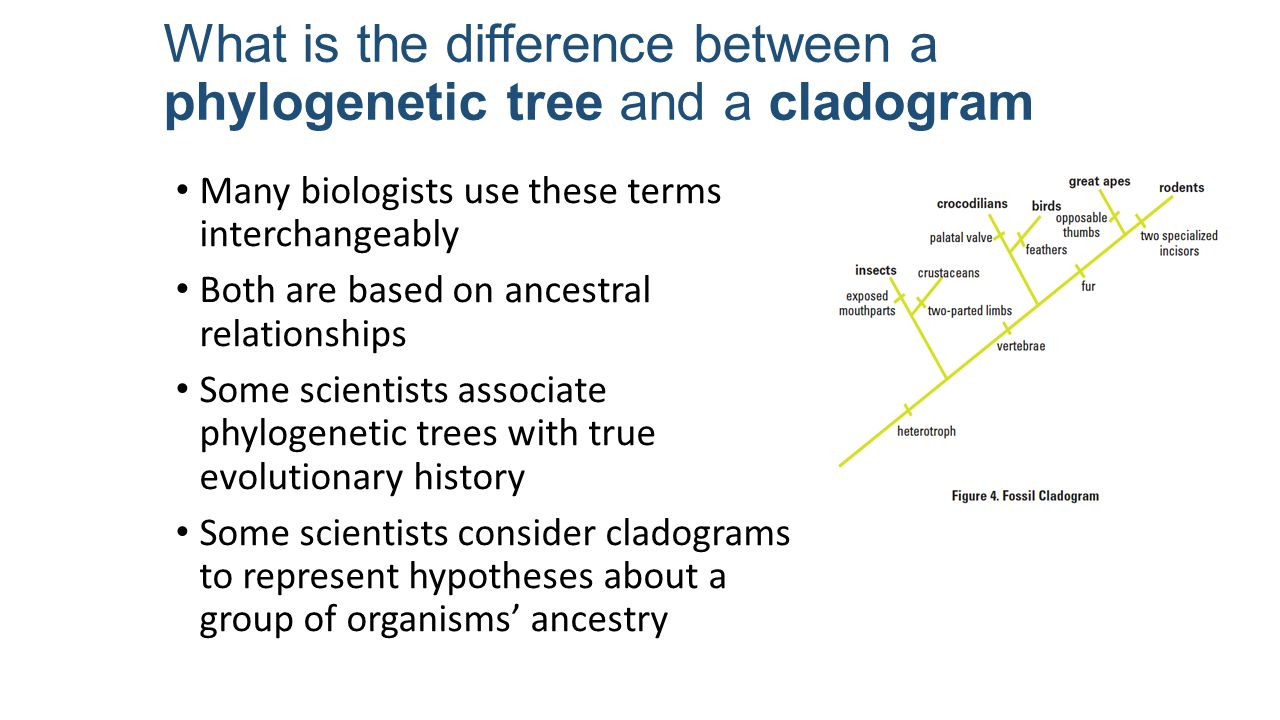 phylogenetics and dating with