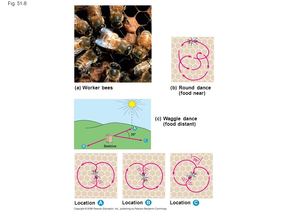 (a) Worker bees (b) Round dance (food near) (c) Waggle dance