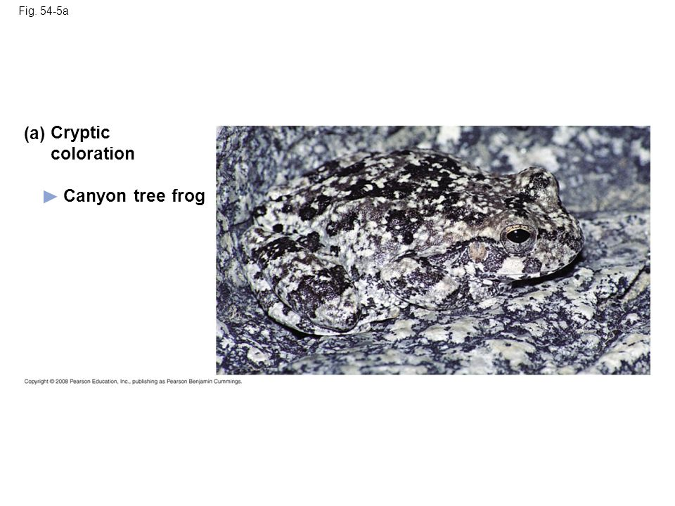 (a) Cryptic coloration Canyon tree frog Fig. 54-5a