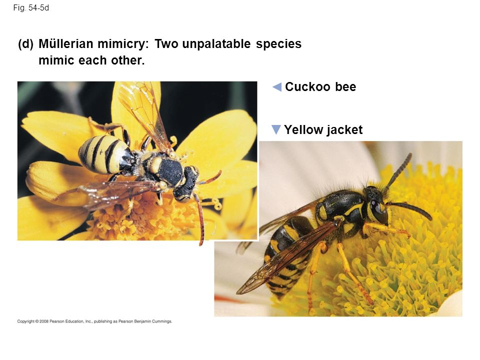 Müllerian mimicry: Two unpalatable species mimic each other.