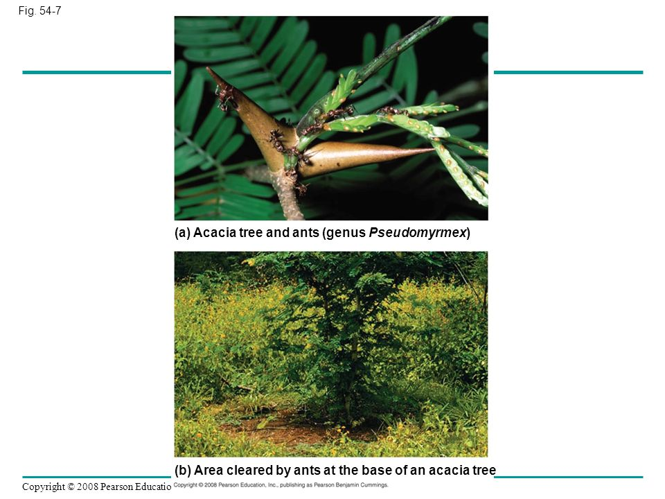 (a) Acacia tree and ants (genus Pseudomyrmex)