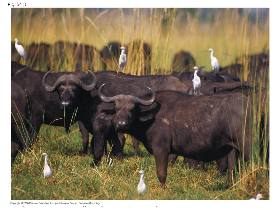 Fig. 54-8 Figure 54.8 A possible example of commensalism between cattle egrets and water buffalo