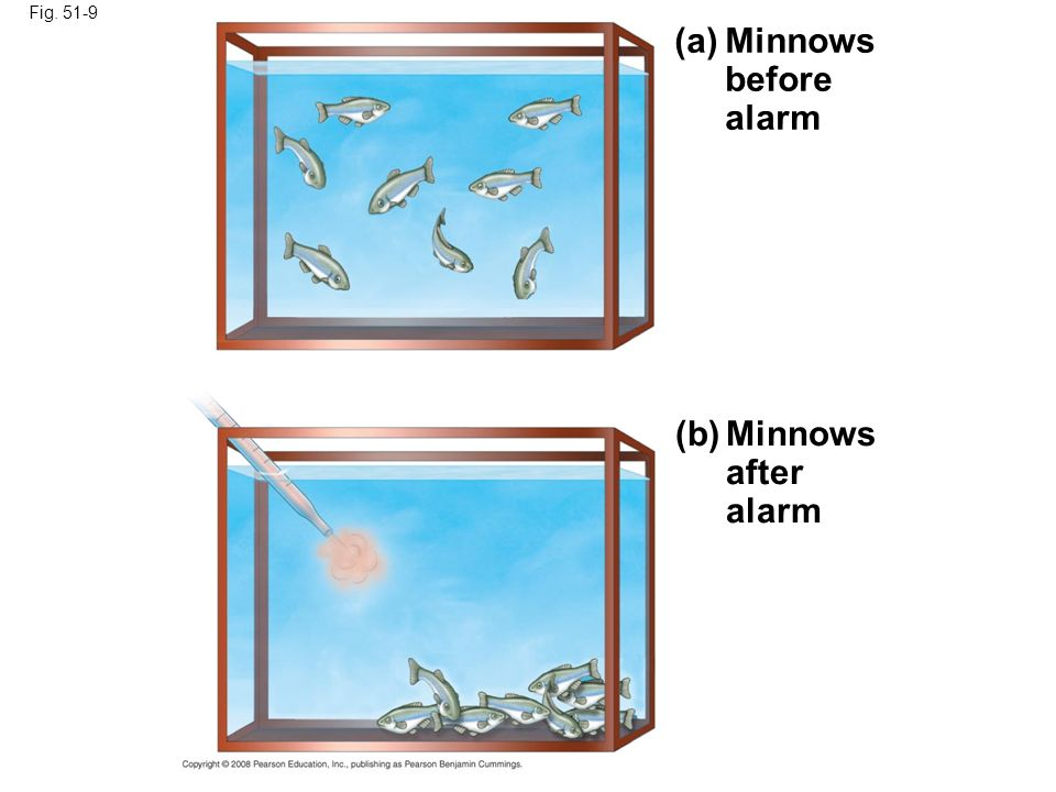 (a) Minnows before alarm (b) Minnows after alarm Fig. 51-9