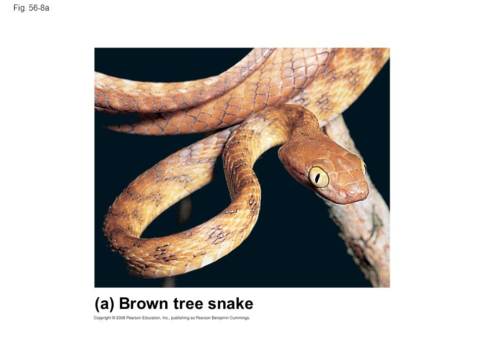 Fig. 56-8a Figure 56.8 Two introduced species (a) Brown tree snake