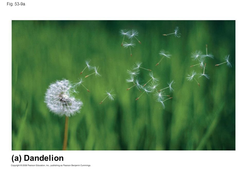 Fig. 53-9a Figure 53.9a Variation in the size of seed crops in plants (a) Dandelion