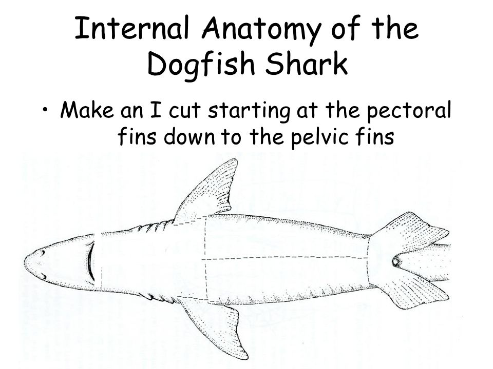 Dogfish Shark Dissection External