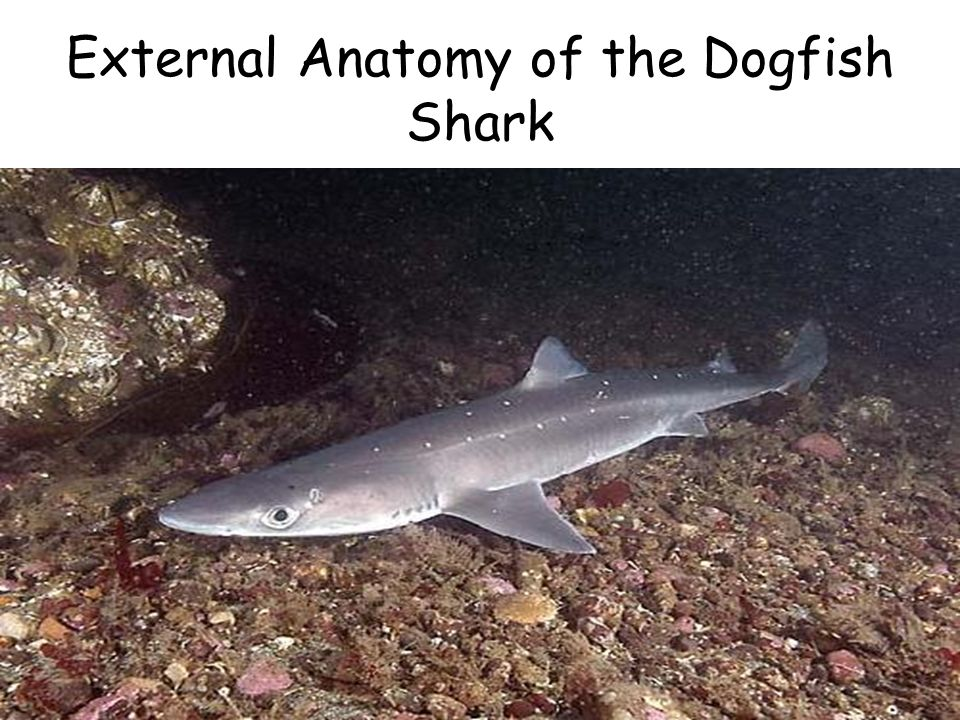 The anatomy of a dogfish shark Essay Writing Service
