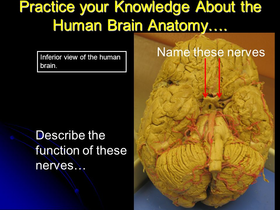 a description of humans brain role and characteristics You'll also learn about common brain conditions and how to improve the health of your brain it plays a role in just about every major body system.