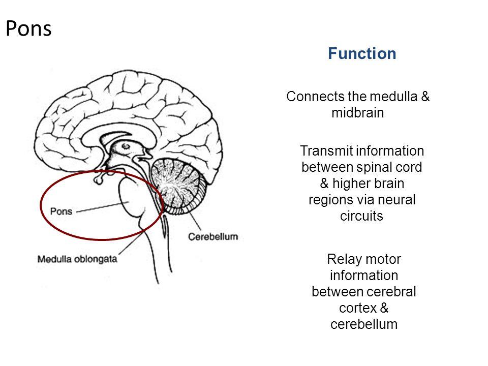 brain stem dr n satyanarayana. - ppt download, Cephalic Vein
